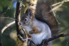 Squirrel in winter coat. (janrs7) Tags: squirrel ekorn wintercoat autumn sonyemount55210mm sonyilc6000 forest october norway outdoor wildnature nature