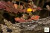 Scricciolo_0798 (Oasi San Daniele Foto) Tags: oasisandaniele parconaturalistico natura sanzenonedegliezzelini fauna birds becco cinciarella cinciallegra codibugnolo frosone fringuello merlo