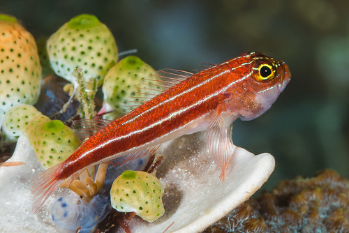 Striped Triplefin - Helcogramma striata