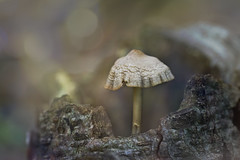 Alien mushroom (Wim van Bezouw) Tags: mushroom forest bokeh sony ilce7m2 nature outdoor plant growth