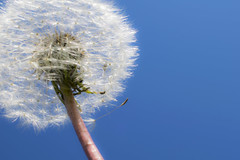 fluffy dandelion (sean and nina) Tags: dandelion isolated nature sky light out outside outdoors autumn fall closeup head seed blue skies white seeds plant shrub flower weed pink stem