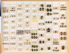 Hans D.J. Wallengren Coleoptera 8 (Biological Museum, Lund University: Entomology) Tags: coleoptera wallengren byrrhidae byrrhus histeridae hister saprinus scarabaeidae cetoniinae cetonia trichius gnorimus osmoderma hoplia melolonthinae melolontha