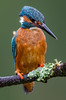 Kingfisher (Mr F1) Tags: kingfisher johnfanning closeup detail atheneathis wild nature outdoors riverside blue electric