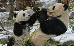 ich will auch etwas!  -   I want something too! (karinrogmann) Tags: groserpanda pandagigante giantpanda zooschönbrunn wien