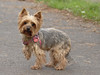 Majka (Darek Drapala) Tags: dog dogs york panasonic poland polska panasonicg5 warsaw warszawa animal