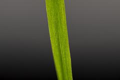 Natural Abstract Instrument (CJH Natural) Tags: macromondays memberschoicemusicalinstruments grass blade bladeofgrass hmm macro makro abstract natural contrast green