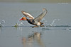 The Prime Moment... (Anirban Sinha 80) Tags: nikon d610 fx 500mm f4 ed vrii n g bokeh duck bird wigs action freezing prime moment water wetland takeoff