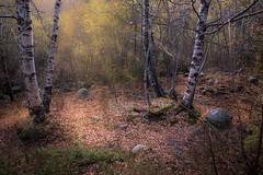 Bosque (jlmontes) Tags: pirineos girona setcases bosque samyang14mm nikond3100