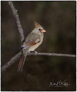 Female Northern Cardinal_DSC9664 photoshop NIK edit 2 ©