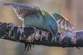 Grey-faced Woodpecker (nominate)(Picus canus canus)-1162-Edit