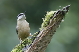 NUTHATCH....Powys....Look on large.