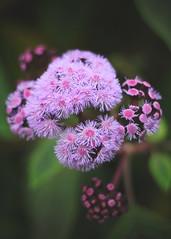 (Paul J's) Tags: taranaki newplymouth pukekurapark pukekura park flower purple