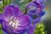 0733Spring17 (Robin Constable Hanson) Tags: blue delphinium floral flower flowers horizontal purple spring white