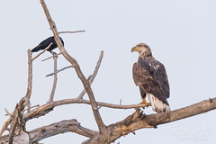 Crows hassle a young Bald Eagle