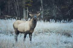 Cold In Cataloochee (Brad Lackey) Tags: elk wapiti bull male antlers field frozen cold fall autumn frost eyecontact wildlife hiking cataloochee northcarolina haywoodcounty wnc blueridgemountains nikon70200mmf28 d7200