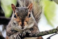 squirrel (Paul Wrights Reserved) Tags: squirrel mammal looking peering ears eyes animal nature closeup bokeh beautiful beauty beautifulexpression