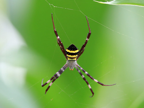 Argiope aetherea