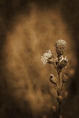 Wild Flower (Dave Linscheid) Tags: flower wildflower sepia texture textured jenispark odin watonwancounty mn minnesota usa toolwizphotos