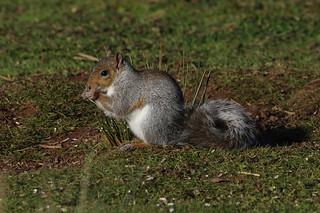 IMGP1467c Grey Squirrel, RSPB Sandy, December 2017