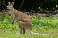 Wallaby, seen from Alec Fong Lim Drive (betadecay2000) Tags: darwin east point wallabie wallaby wallbies känguru kangoroo australien australia alec fong lim drive military museum suburb park kangaroos outdoor tier