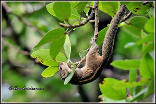 7313 - Indian palm squirrel