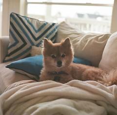 Foxy (marykatharinepayne1) Tags: dog pomeranian galveston film hasselblad 120mm