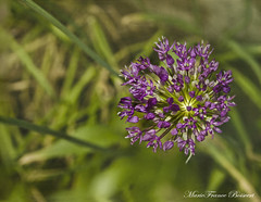 Allium (MarieFrance Boisvert) Tags: allim bulb nature flowers spring texturestextured stacking