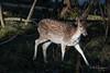 Deer illuminated @ Waterleidingduinen (PaulHoo) Tags: nikon d750 autumn fall 2017 damhert hert deer sun sunlight amsterdamse waterleidingduinen animal wildlife