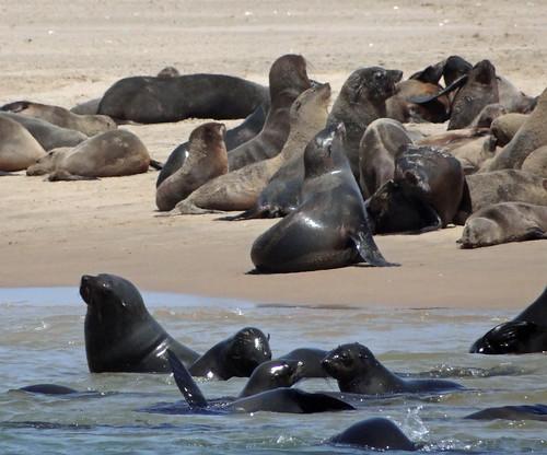 091 DSC09155 Seals. Walvis Bay, Namibia. 2017 10 27