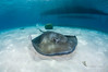 Caribbean stingray (Patxikun) Tags: caribbean stingray mexico underwater apnea