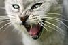 IMG_0281 (Monica R.) Tags: funnycat cat cats graycats 100mmmacro