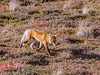 Fox Denali Alaska (Dean OM) Tags: fox denali alaska film om olympus 350mm 14x velvia tundgra alaksa