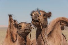 1706_mbe_mongolia_ömnögov_141 (Marcel Berendsen - The Netherlands) Tags: asia asian azie camelusbactrianus mongolia mongolian mongolië travel world agrarisch agricultural agriculture bactraincamel camel camels countrified desert farming gobi gobidesert kameel kamelen landelijke landscape landschap rural rustic scenery scenic travelphotography woestijn ömnögov