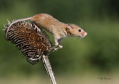 Just hanging around (maddiver58) Tags: harvest mice dorset wildlife dean mason mammal