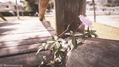(muhasore) Tags: sony sonyalpha sonya6000 a6000 rokinon12mmf2 samyang12mmf2 tinguii parque park curitiba cwb brasil brazil outdoors outdoor flower vintage flor pink rosa