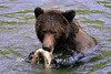 My Salmon (Spectacle Photography) Tags: grizzly grizzlybear ursusarctos salmon salmonrun fishing britishcolumbia canada wildlife wildlifewatching spectaclephotography