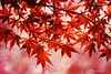 red on red (Monica Muzzioli) Tags: autumn fall red leaves maple tree drops rosso foglie autunno
