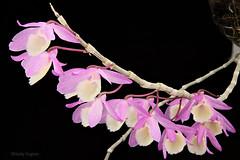 Dendrobium aphyllum (Harlz_) Tags: dendrobiumaphyllum dendrobium species orchid flower bloom dendrobiumpierardii