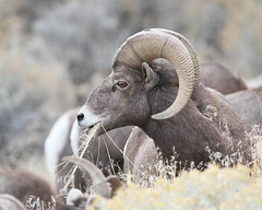 Bighorn Sheep (jlcummins - Washington State) Tags: vantage washingtonstate bighornsheep wildlife fauna mammal ngc npc