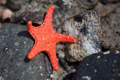 Starfish (julie burgher) Tags: ladybay normanville fleurieupeninsula southaustralia starfish