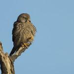 Kestrel - The cutest raptor? thumbnail
