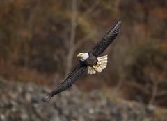 Fast Food... (DTT67) Tags: baldeagle eagles birds bif nature nationalgeographic wildlife canon 1dxmkii autumn