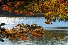 2017 Autumn #5 (Yorkey&Rin) Tags: 2017 autumn autumnleaves em5markii japan japanesemaple momiji november olympus olympusm14150mmf4056ii pond rin showakinenkouen tokyo uc090116 モミジ゙ 紅葉 昭和記念公園 池 東京都