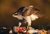 El Pirata (chuscordeiro) Tags: pirata azor ave rapaz pajaro pluma comida bird prey ojo color rojo fauna naturaleza nature eye canon1dxmarkii canon500f4 canonextender2x españa wild salvaje libre airelibre comedero accipitergentilis