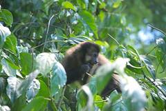 Monito (_nestor_) Tags: iguazu argentina animales mono