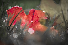 leave the leaf... (Uniquva) Tags: smileonsaturday onesingleleaf leaf maple drops bokeh
