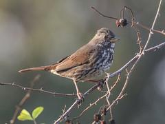 Slate-colored Fox Sparrow, Passerella iliaca (bruce_aird) Tags:
