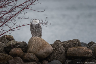 Snowy Owl On The Bay