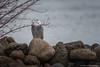 Snowy Owl On The Bay (murf50) Tags: animals georgianbay greatlakes otherkeywords owensound paulmurphy water animal bird birds birdsofprey feathers nature owl raptor snowyowl wildlife wings