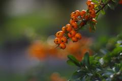 Orange delight (Baubec Izzet) Tags: baubecizzet pentax fruit bokeh orange nature autumn macrodreams
